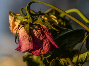 Wilting Flower